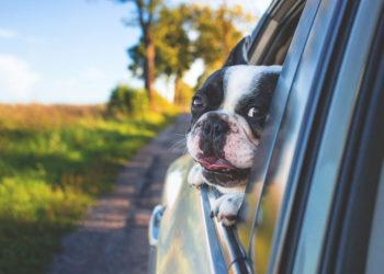 Recomendaciones para viajar en coche con tu mascota 350x250 - Noticias